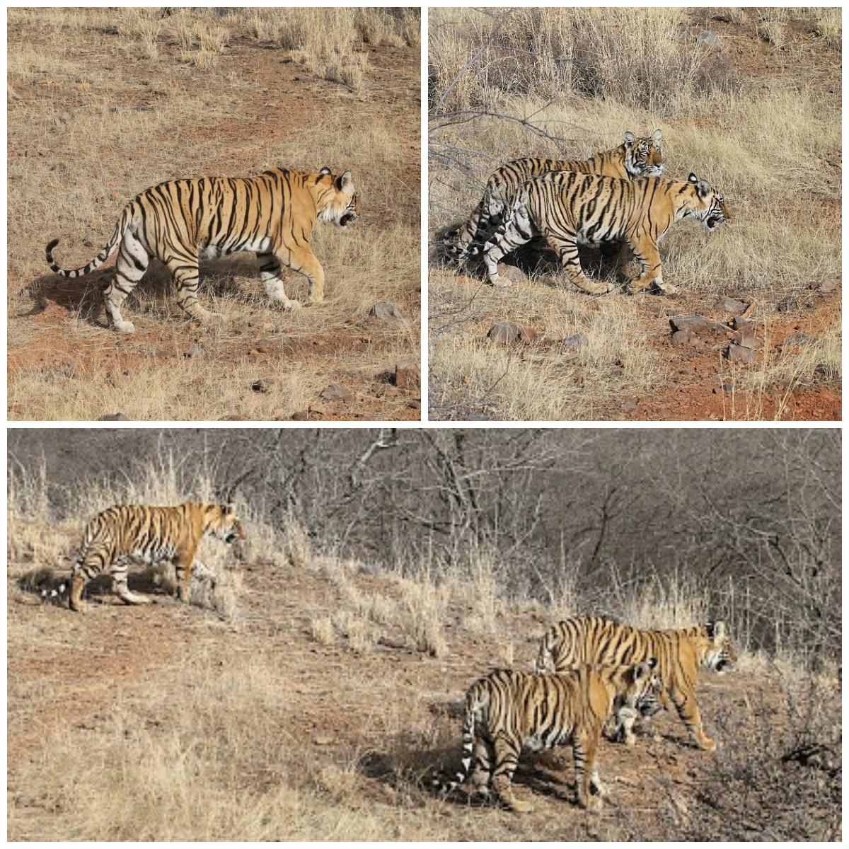 Tiger Safari Ranthambore National Park, India