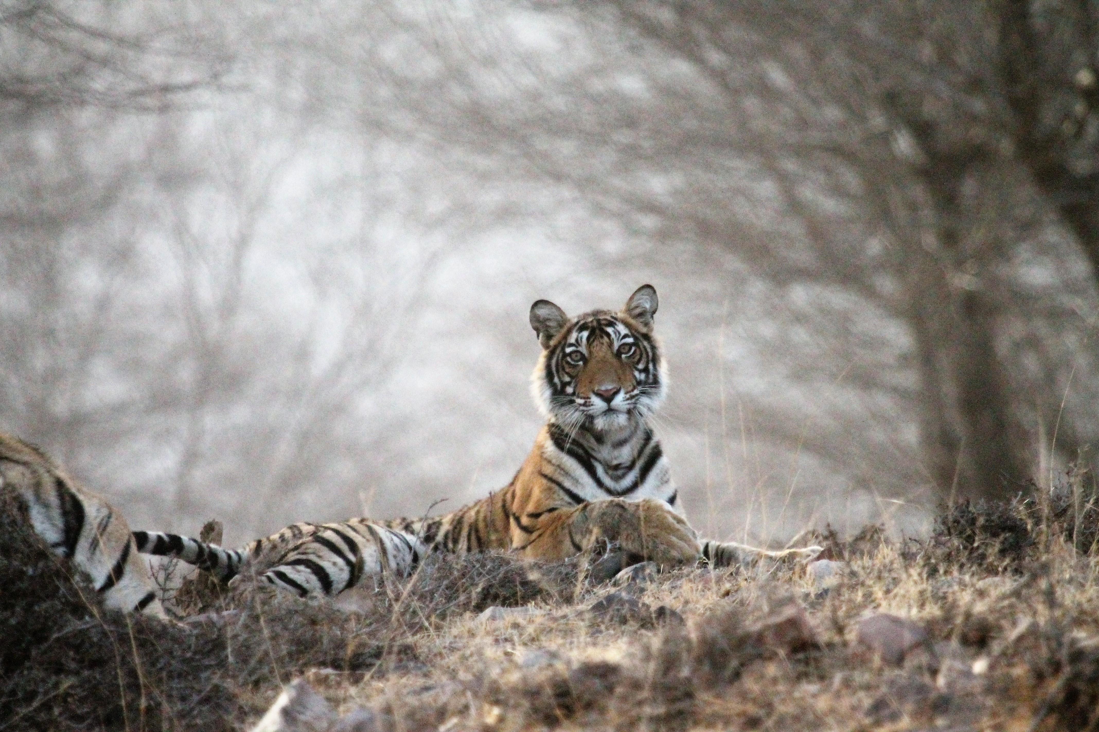 Tiger Safari Ranthambore National Park, Rajasthan, India